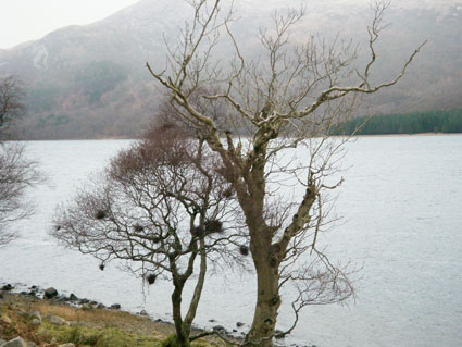 Loch Ba, tree with galls
