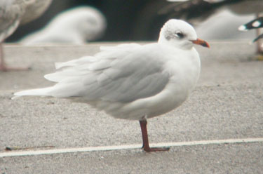 Mediterranean Gull Oct13