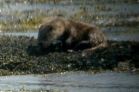 Otter eating on rock