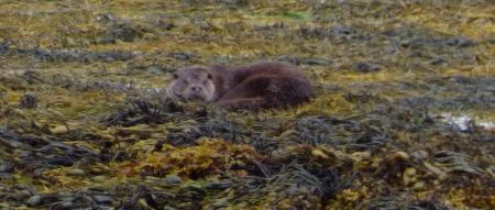 Otter on the seaweed