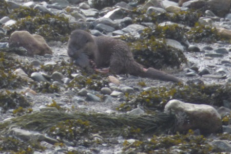 Otter                                                           with cut in                                                           tail