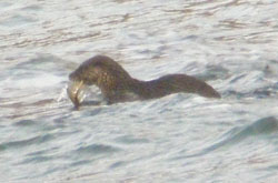 Otter leaves the                                               rock