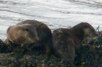 Otters on the seaweed