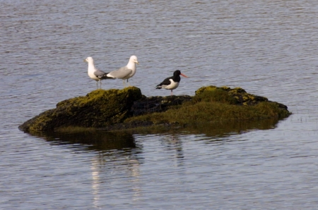 Oystercarcher with 2 Common                                     Gulls