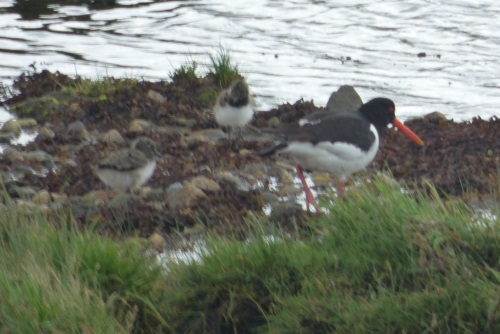 Oystercatcher with chicks