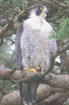 Peregrine                             in tree