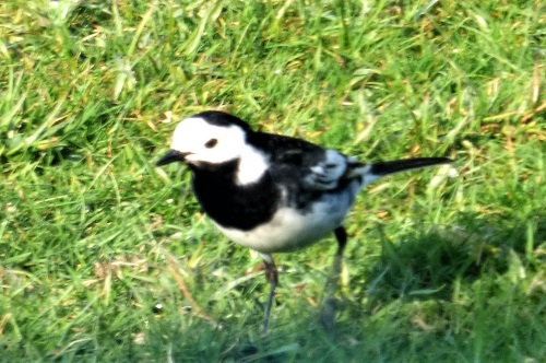 Pied Wagtail in garden