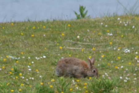 Rabbit on the machair