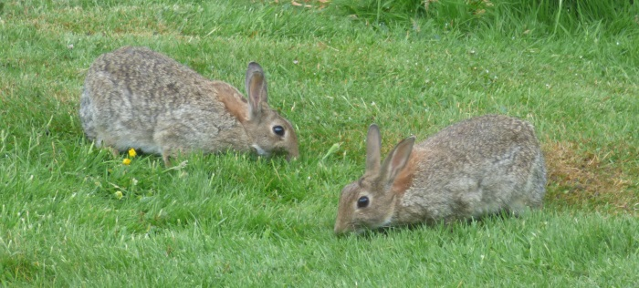 Rabbits in garden