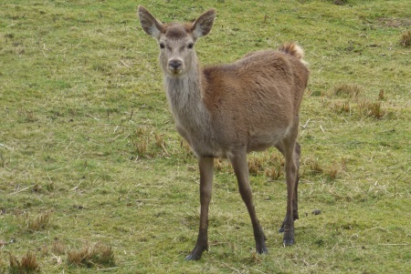 Red                             Deer calf