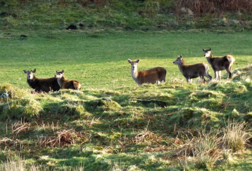 Red Deer hinds and calves