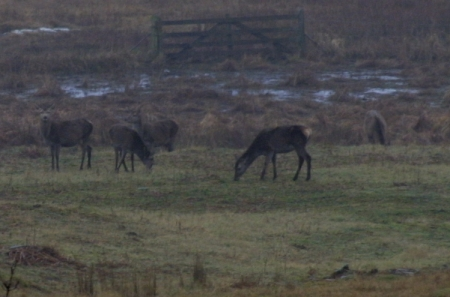 Red Deer in a field