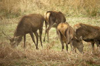 Red Deer feeding