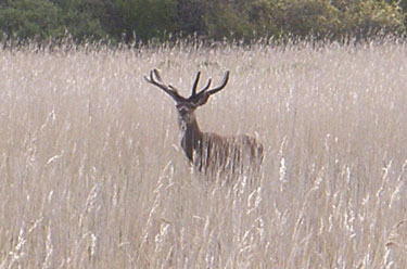 Red Deer stag in Reed bed