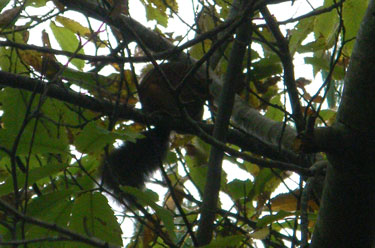Red Squirrel Oct13
