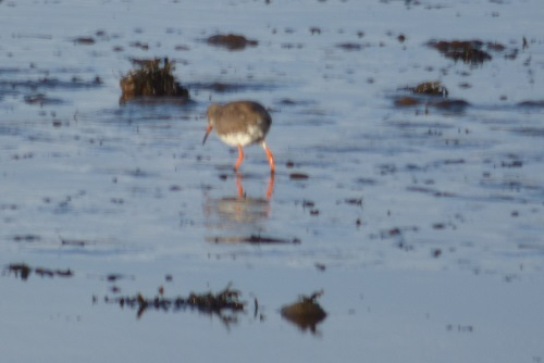 Redshank walking away
