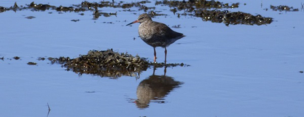 Redshank with reflection