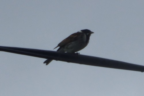 Reed Bunting on wire
