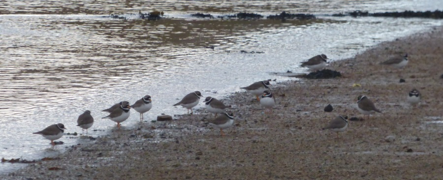 Ringed Plovers by the                                               water