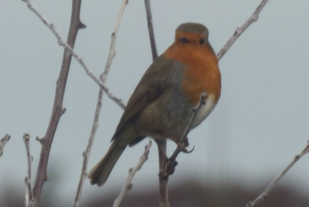 Robin at Ardrioch