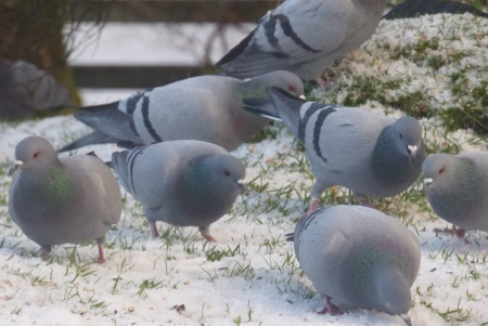 Rock Doves in the snow