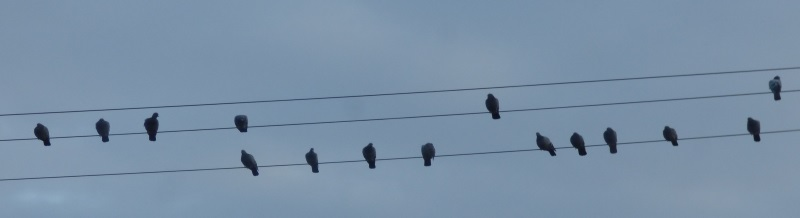 Rock Doves on the