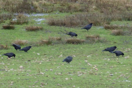 Rooks field of