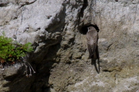 Sandmartin at nest