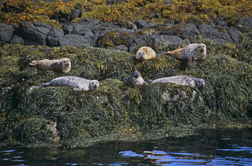 Common Seals by Nic Davies