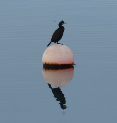 Shag on a bouy