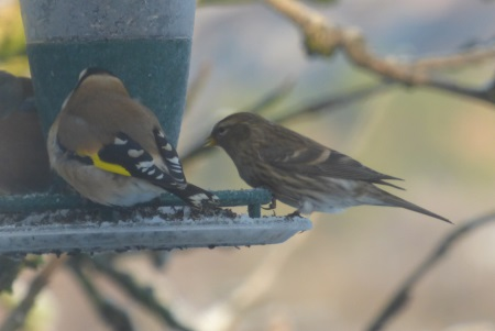 Siskin with Goldfinch