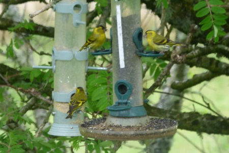 Siskins in feeders
