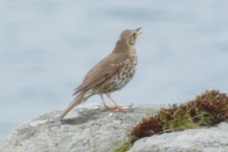 Song Thrush on a rock