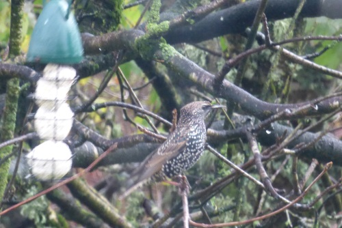 Starling in the garden