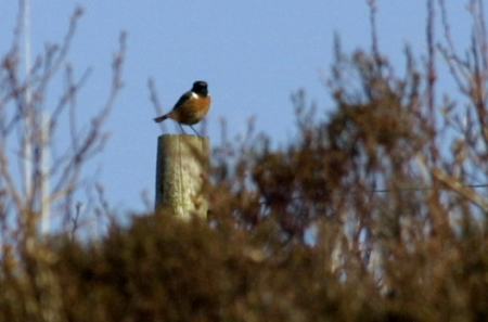 Stonechat on post