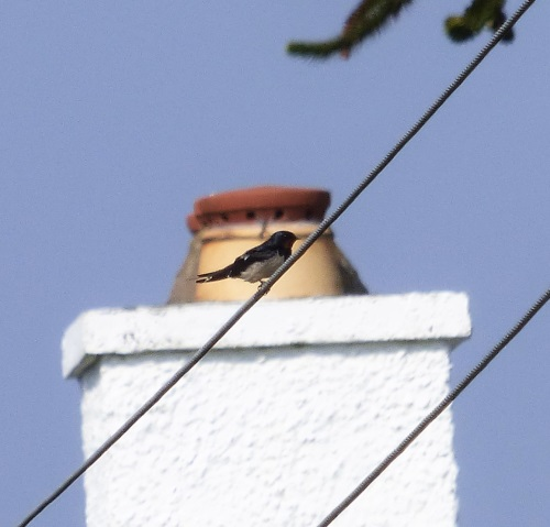 Swallow 1st of year