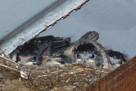 Swallow babies