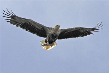 White-tailed Eagle carrying                                       prey
