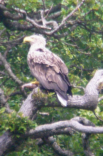White-tailed Eagle sitting in a tree