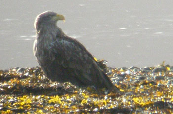 White-tail Eagle on the                                       shingle