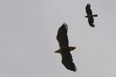 WT Eagle chased by a hooded crow