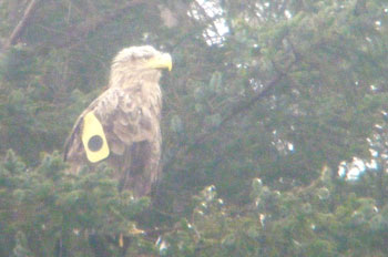 White-tail                               Eagle in the rain