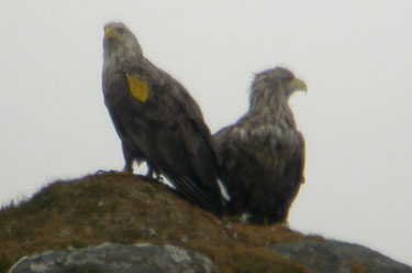 White-tail Eagle pair