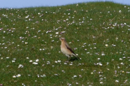 Wheatear with daisies