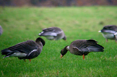 White-fronted Geese with                                       Greylags