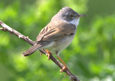 Whitethroat AS