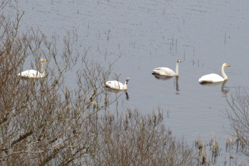 Whooper Swans x 4