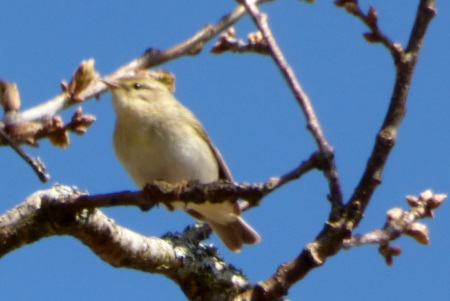 Willow Warbler Eas Force
