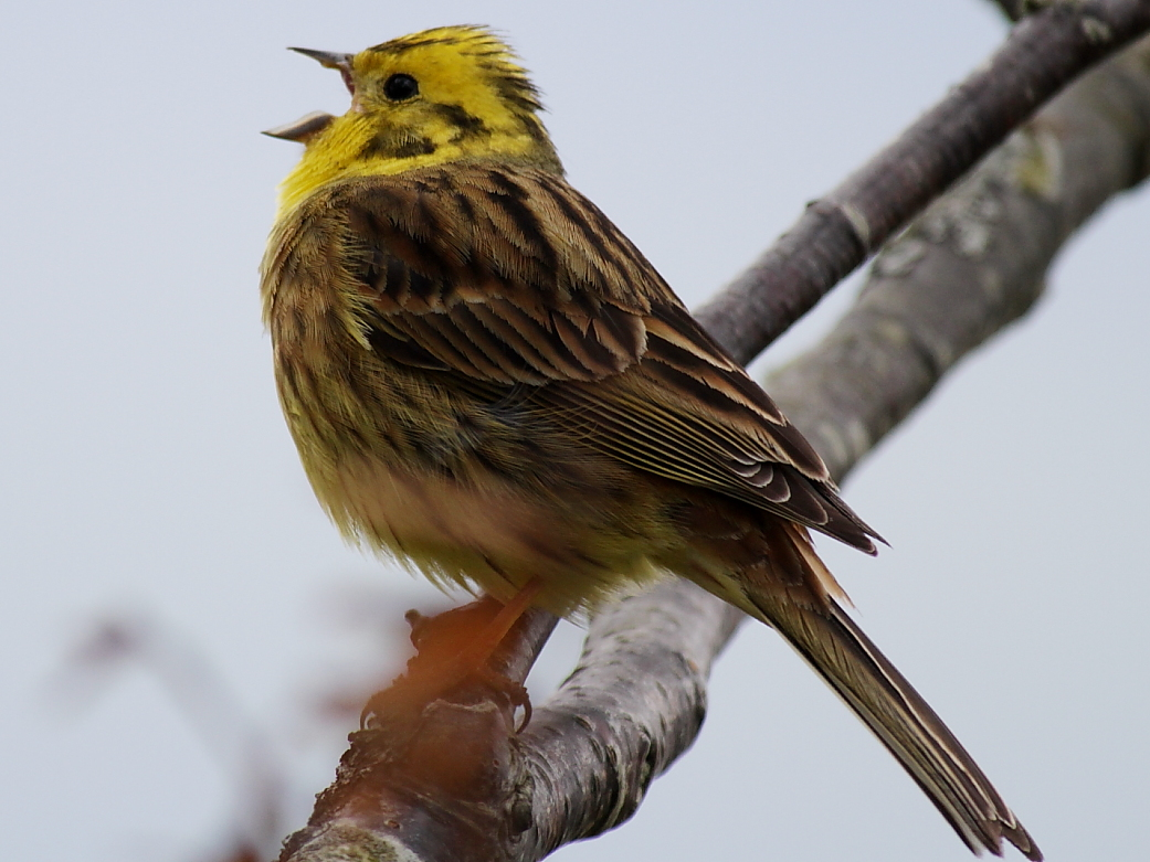 Yellowhammer David Cole (a different                             one)
