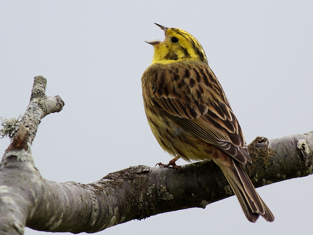 Yellowhammer by David Cole